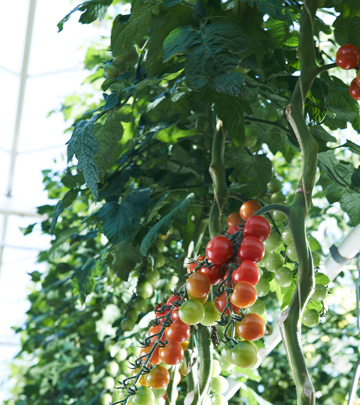 Plants hang at Valley View Greenhouses under the LED flowering lights provided by Philips horticultural lighting